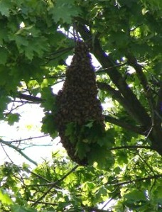 A 2012 honey bee swarm. Photo courtesy of Tonia Moxley.