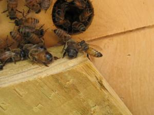 A worker bee wrestles a drone away from the hive entrance in fall 2012. Don't let this happen to you; renew your membership today! Photo courtesy of Maureen Peters.
