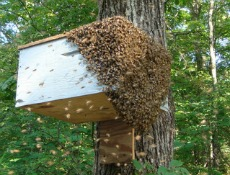 One of VP Richard Reid's bait hives drew a large swarm in 2010.