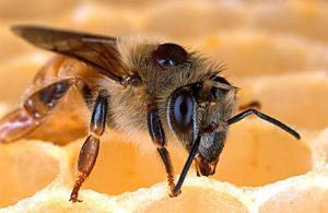 varroa on bee