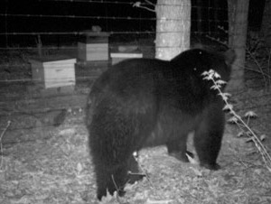 Black bear investigating a fenced apiary.
